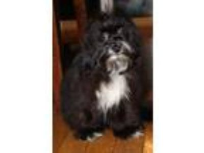 Adopt Wanda a Black - with White Poodle (Miniature) / Mixed dog in New