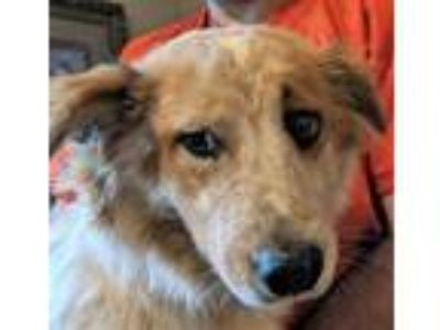 Adopt Meaghan (Downers Grove) a Australian Shepherd
