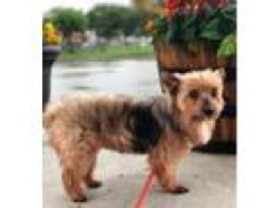 Adopt Bandit a Yorkshire Terrier