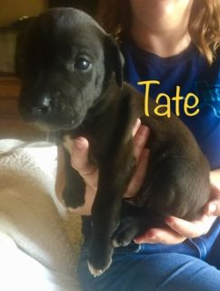 Great Dane PUPPY FOR SALE ADN-91402 - Great Dane Puppies