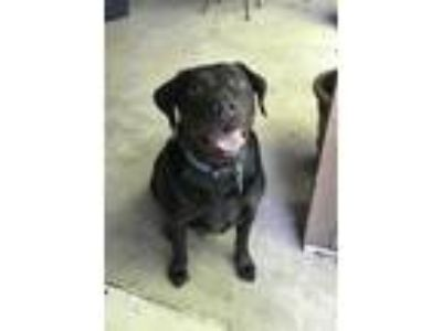 Adopt Deuce a Black Labrador Retriever / Border Collie / Mixed dog in Broussard