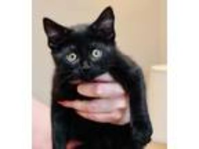 Adopt Abigail a All Black Domestic Shorthair / Mixed cat in Palatine