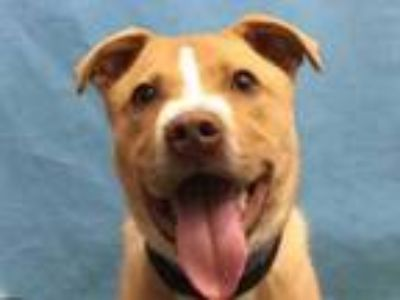 Adopt Izzie a Tan/Yellow/Fawn American Pit Bull Terrier / Mixed dog in Golden