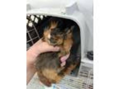 Adopt SANTA MARIA a Black Guinea Pig / Mixed small animal in Fruit Heights