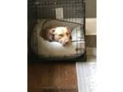 Adopt Boyd a Tan/Yellow/Fawn - with White American Pit Bull Terrier / Labrador