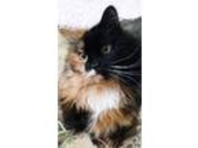 Adopt Koi a Calico or Dilute Calico Domestic Longhair (long coat) cat in Boise