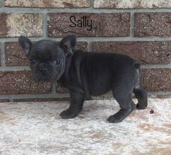 Sally Female AKC French Bulldog