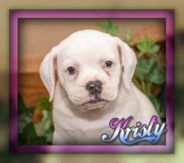 Kristy female Beabull Puppy