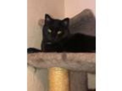Adopt Vicki a Domestic Short Hair
