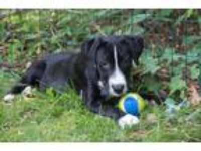 Adopt Betty a Black - with White Labrador Retriever / Mixed dog in Collingswood