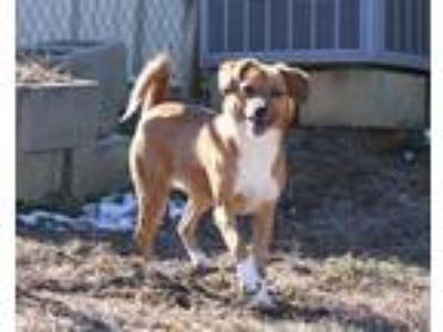 Adopt Clarissa a Brown/Chocolate - with White Mixed Breed (Medium) / Mixed dog