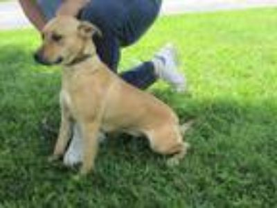 Adopt Suzy a Tan/Yellow/Fawn Terrier (Unknown Type, Medium) / Mixed dog in Mount