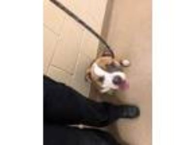 Adopt Sugar a Tan/Yellow/Fawn American Pit Bull Terrier / Mixed dog in