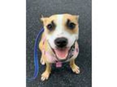 Adopt Etta a Pit Bull Terrier / American Staffordshire Terrier / Mixed dog in