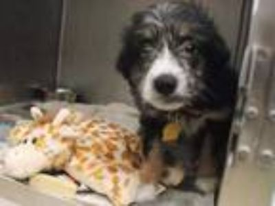 Adopt NIKKI a Tricolor (Tan/Brown & Black & White) Australian Shepherd / Mixed