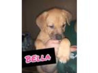 Adopt Bella BrNi a Tan/Yellow/Fawn Bullmastiff / Doberman Pinscher / Mixed dog
