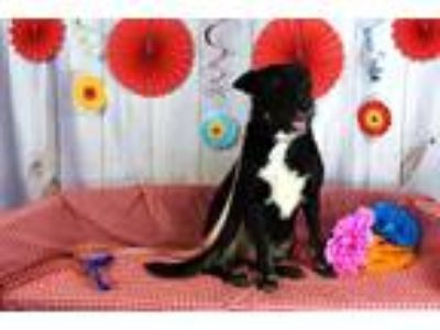 Adopt Maggie Mae a Labrador Retriever, Collie