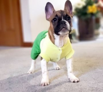 French Bulldog PUPPY FOR SALE ADN-109718 - FrenchieZ PuP