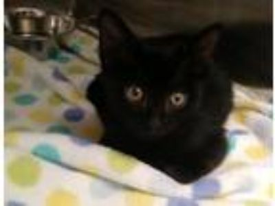 Adopt Trout a All Black Domestic Shorthair / Mixed (short coat) cat in Hilton