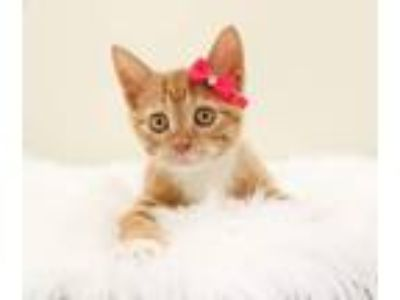 Adopt Carrot a Orange or Red Domestic Mediumhair / Mixed (medium coat) cat in