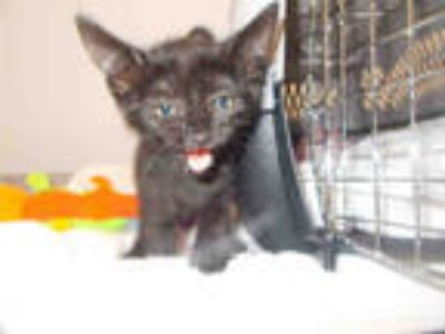 Adopt a All Black Domestic Shorthair / Mixed (short coat) cat in Fort