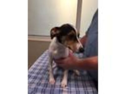 Adopt Selma a Rat Terrier, Mixed Breed