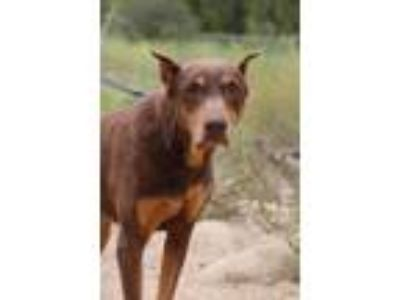 Adopt Emmy Lou a Brown/Chocolate - with Tan Doberman Pinscher / Mixed dog in