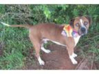 Adopt IKE 307197 a Staffordshire Bull Terrier