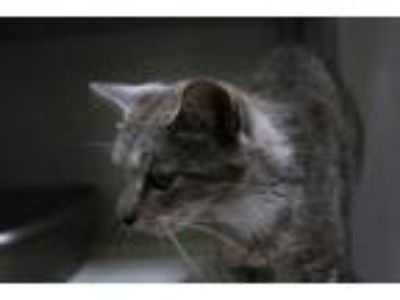 Adopt Bobbie June a Manx, Domestic Short Hair
