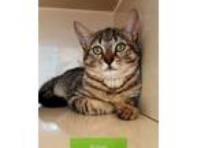 Adopt Ringo a Tiger Striped Domestic Shorthair (short coat) cat in Key Largo