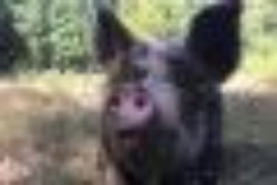 Lucy & Ethel Pig Barnyard
