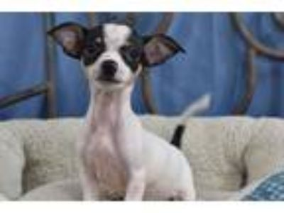 Adopt Hot Cross Buns a Dachshund / Mixed dog in Fort Worth, TX (25882489)