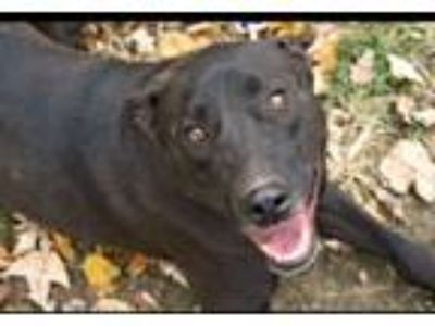 Adopt Tuxedo a German Shepherd Dog, Labrador Retriever
