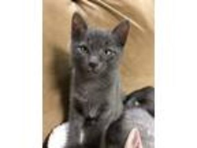 Adopt Banjo a Gray or Blue Domestic Shorthair / Mixed (short coat) cat in
