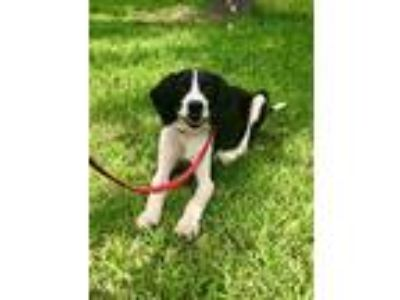 Adopt Murphy a Black - with White Beagle / Spaniel (Unknown Type) / Mixed dog in