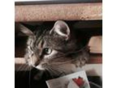 Adopt Mo a Brown or Chocolate (Mostly) LaPerm cat in Norridge, IL (25509773)