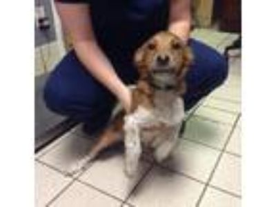 Adopt Speckles a Red/Golden/Orange/Chestnut Mixed Breed (Small) / Mixed dog in