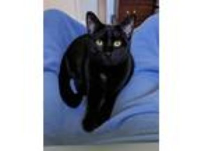 Adopt Ridge a All Black Domestic Shorthair / Mixed (short coat) cat in Devon