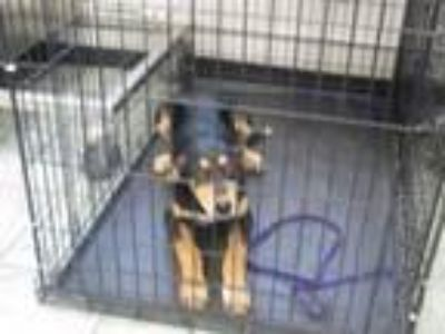Adopt Shelly a Shepherd, Mixed Breed