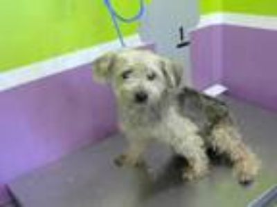Adopt A1638455 a Yorkshire Terrier, Mixed Breed