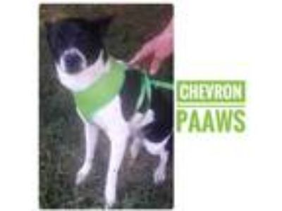 Adopt CHEVRON a Black Terrier (Unknown Type, Small) / Mixed dog in Newburgh