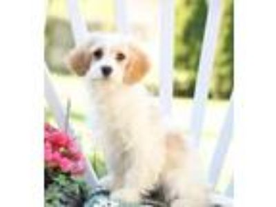 Adopt Roxy a White Cavalier King Charles Spaniel / Poodle (Miniature) dog in