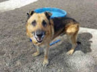 Adopt a Tan/Yellow/Fawn German Shepherd Dog / Mixed dog in Mesa, AZ (24811479)