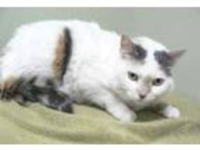Adopt Nova a White Domestic Shorthair / Domestic Shorthair / Mixed cat in