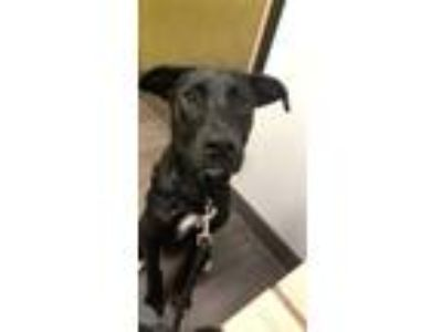 Adopt McClane a Black - with White Labrador Retriever / German Shepherd Dog dog