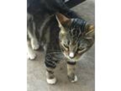 Adopt Alley a Tiger Striped Domestic Shorthair / Mixed cat in Elk Grove