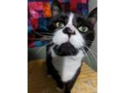 Adopt Buddy Cat a Black & White or Tuxedo Domestic Shorthair (short coat) cat in