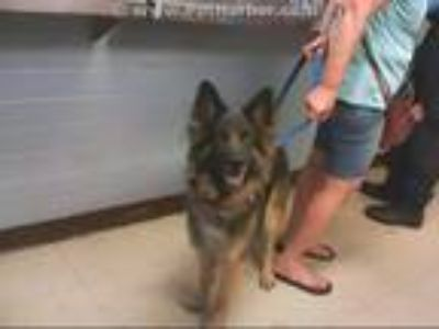 Adopt A280616 a German Shepherd Dog, Mixed Breed