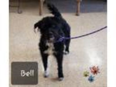 Adopt Bell a Schnauzer, Poodle