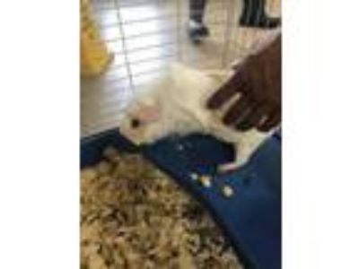 Adopt 41757349 a White Guinea Pig / Guinea Pig / Mixed small animal in Fort